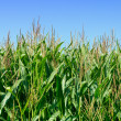 Stock Photo: Green field of corn