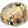 Petrified wood slice - Stock Photo
