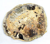 Petrified wood slice — Stock Photo