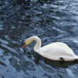 Swan following reflections with the peak - Stock Photo