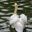 Swan swimming in a canal of the Real Sitio de San Ildefonso - Stock Photo