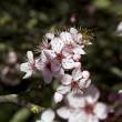 Japanese Plum flowering and bee — Stock Photo