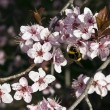Japanese Plum tree flowering — Stock Photo