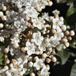 Viburnum with white flowers — Stock Photo