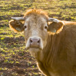 Stock Photo: Cow in meadow