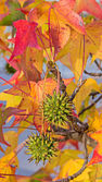 Fruits of american sweetgum — Stock Photo