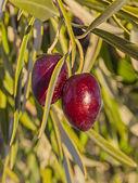Olive variety Cornicabra — Stock Photo