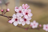 Japanese plum flowers — Stock Photo