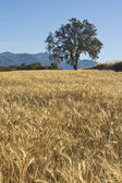 Wheat and oak — Stock Photo