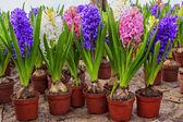 Hyacint bloemen — Stockfoto