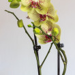 Beautiful yellow orchid and pink spots — Stock Photo