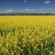 Stock Photo: Canola field,Transylvania,Romania