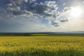 Canola field and cloudy sky — Stock Photo