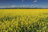 Canola field,Transylvania,Romania — Stock Photo