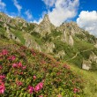 Beautiful rhododendron flowers and summer landscape in Ciucas mountains,Romania — Stock Photo #26900283