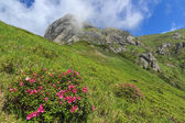 Pink flowers in Ciucas mountains,Transylvania,Romania — Stock Photo