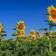 Beautiful sunflowers in the field and blue cloudy sky — Stock Photo