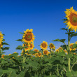 Stock Photo: Beautiful sunflowers in the field and blue cloudy sky