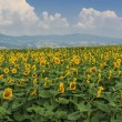 Stock Photo: Blooming field of sunflowers on blue cloudy sky