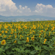 Blooming field of sunflowers on blue cloudy sky — Stock Photo