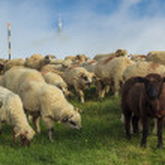 Herd of sheep on beautiful mountain meadow,Carpathians,Romania — Stock Photo #28618845