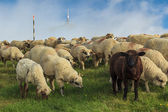 Herd of sheep on beautiful mountain meadow,Carpathians,Romania — Stock Photo