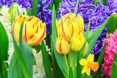 Yellow tulips and spring flowers — Stock Photo