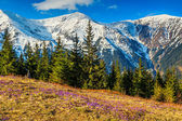 Spring landscape in the mountains and purple crocuses,Fagaras,Carpathians,Romania — Stock Photo
