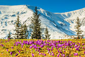Crocus flowers in the high mountains and spring landscape,Fagaras,Carpathians,Romania — Stock Photo