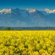Canola field and high snowy mountains,Fagaras,Carpathians,Romania — Stock Photo #46997135