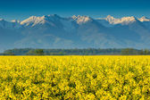 Canola field and high snowy mountains,Fagaras,Carpathians,Romania — Stock Photo