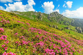 Beautiful pink rhododendron flowers in the mountains,Ciucas,Carpathians,Romania — Stock fotografie
