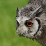 Northern White-faced Owl Ptilopsis leucotis — Stock Photo #21819015