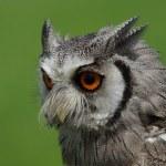 Northern White-faced Owl Ptilopsis leucotis — Stock Photo