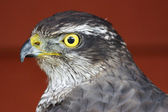 Goshawk accipiter gentilis — Stock Photo