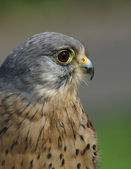 Kestrel Falco tinnunculus — Stock Photo