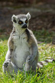Lemur catta Ring Tailed Lemur — Stock Photo