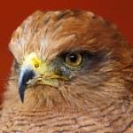 Portrait Of A Savanna Hawk Buteogallus meridionalis — Stock Photo #21821013