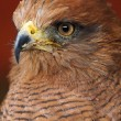 Portrait Of A Savanna Hawk  Buteogallus meridionalis  — Stock Photo