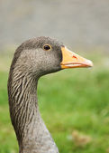 Portrait Of A Greylag Goose — Stock Photo