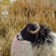 Horned Sheep — Stock Photo