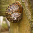 Large Brown Garden snail (Helix aspersa) On A Wooden Fence Post  — Stock Photo