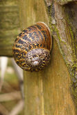 Large Brown Garden snail (Helix aspersa) On A Wooden Fence Post — Stockfoto