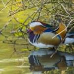 Mandarin Duck , Aix galericulata — Stock Photo #25984047