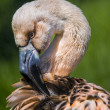 Juvenile Flamingo — Stockfoto