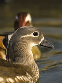 Mandarin Duck , Aix galericulata — Stock Photo