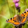 Tortoiseshell  aglais polychloros — Stock Photo