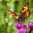 Stock Photo: Tortoiseshell aglais polychloros