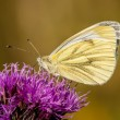 Green-veined white pieris napi — Stock Photo
