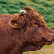 Devon Bull — Stock Photo